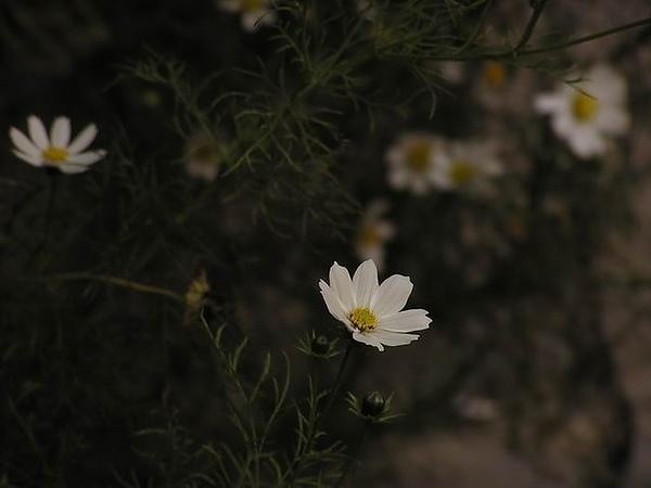 白色大波斯菊娉婷優雅