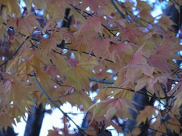 槭葉 (非楓葉)