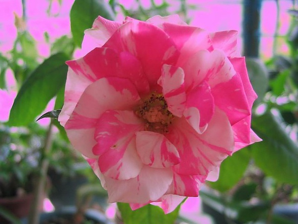玫瑰綻放炫麗耀目