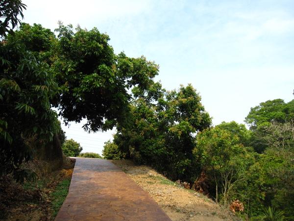 步道跟龍眼樹