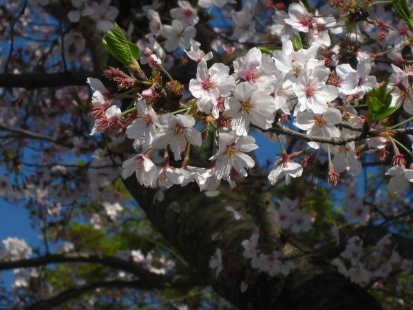 櫻花調白平衡
