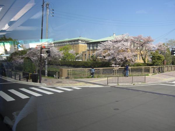 平安神宮外的櫻花