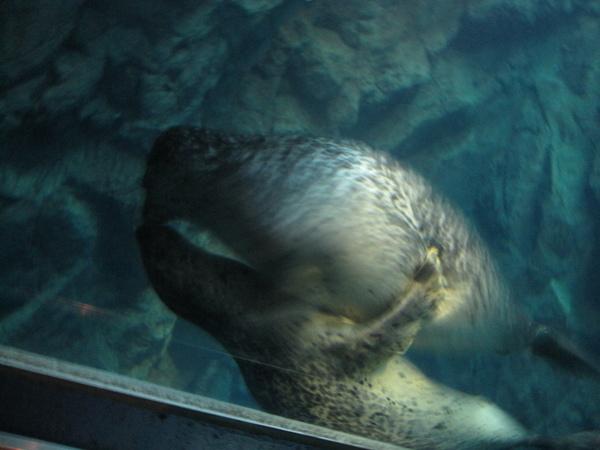 海豹在親親