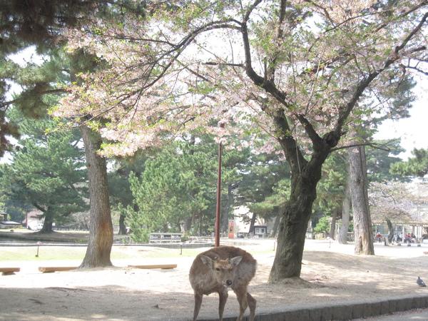 櫻花樹下的鹿