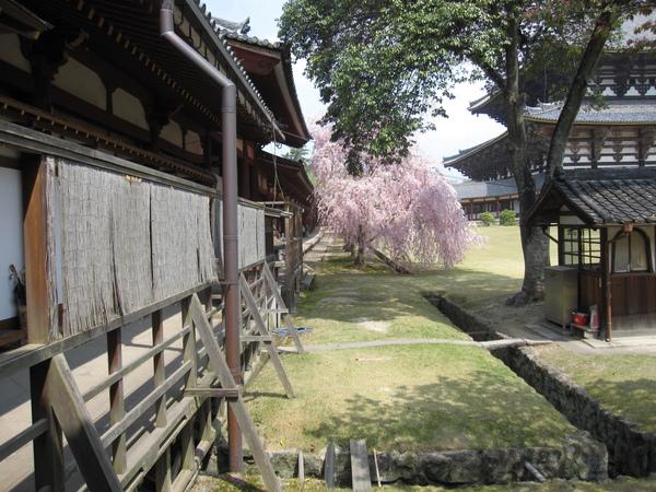 東大寺內的垂柳櫻