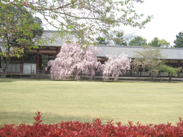 另一個角度看櫻花