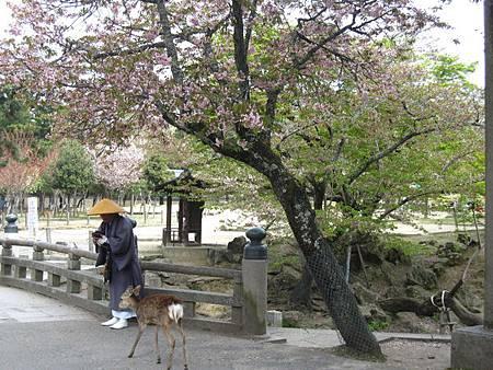 櫻花樹下的僧侶跟鹿