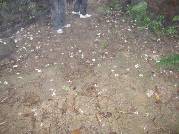 滿地油桐花