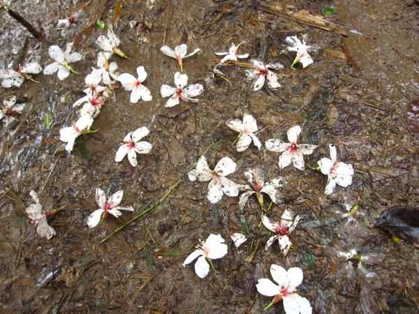 泥濘上的桐花