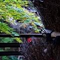 8二本葦束楓葉-2.jpg