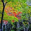 7二本葦束楓葉-1.jpg