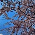 27嚴島神社社務所櫻花-4.jpg