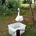 5旭山動物園-天鵝.jpg