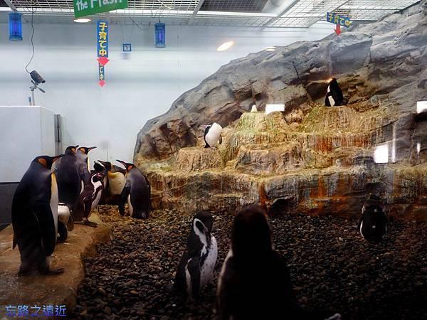8旭山動物園-企鵝抱卵.jpg