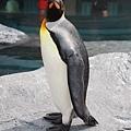 10旭山動物園-國王企鵝.jpg