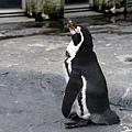 12旭山動物園-秘魯企鵝.jpg