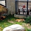 15旭山動物園-獅子.jpg