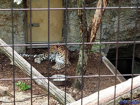 16旭山動物園-豹.jpg