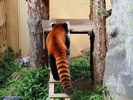 18旭山動物園-小熊貓.jpg