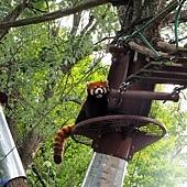 19旭山動物園-小熊貓.jpg