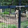 21旭山動物園-狼.jpg