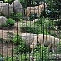 22旭山動物園-狼.jpg