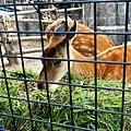 23旭山動物園-蝦夷鹿.jpg