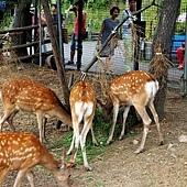 24旭山動物園-蝦夷鹿.jpg