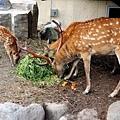 25旭山動物園-蝦夷鹿.jpg