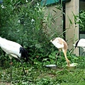 26旭山動物園-丹頂鶴.jpg