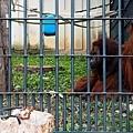 27旭山動物園-紅毛猩猩.jpg
