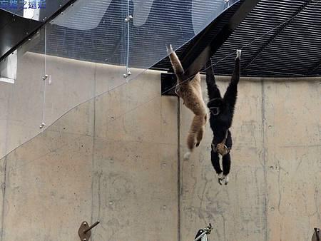28旭山動物園-長臂猿.jpg