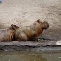 29旭山動物園-水豚.jpg