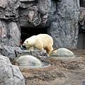31旭山動物園-北極熊.jpg
