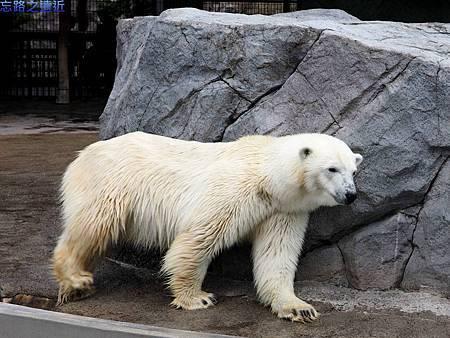 32旭山動物園-北極熊.jpg