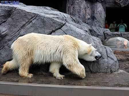 33旭山動物園-北極熊.jpg