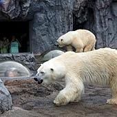 34旭山動物園-北極熊.jpg