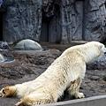 35旭山動物園-北極熊.jpg
