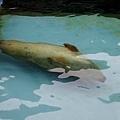 37旭山動物園-海豹.jpg