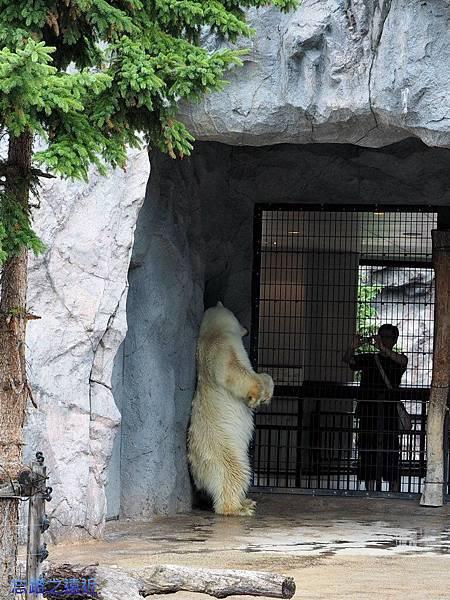 36旭山動物園-北極熊.jpg
