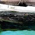39旭山動物園-海豹.jpg