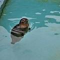 41旭山動物園-海豹.jpg
