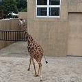 45旭山動物園-長頸鹿.jpg