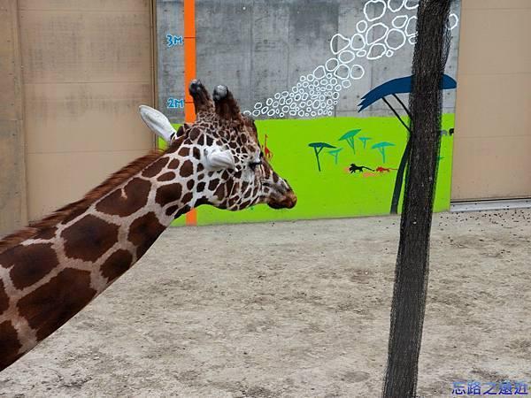 44旭山動物園-長頸鹿.jpg