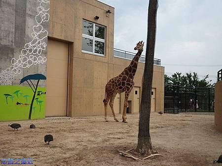 46旭山動物園-長頸鹿.jpg