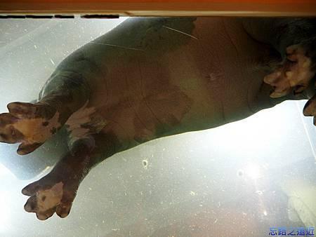 49旭山動物園-河馬.jpg
