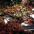 17苔寺楓紅-2.jpg