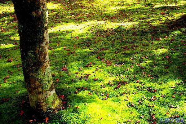 18苔寺苔上楓紅-1.jpg