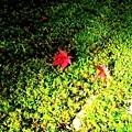 20苔寺苔上楓紅-3.jpg