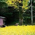 29出石諸杉神社杏木-1.jpg